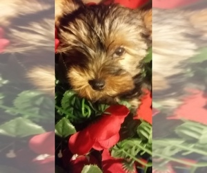 Main photo of Yorkshire Terrier Dog Breeder near SEDONA, AZ, USA