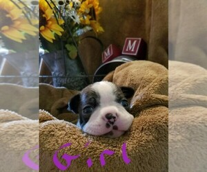 Boston Terrier Dog Breeder near BENTON, AR, USA
