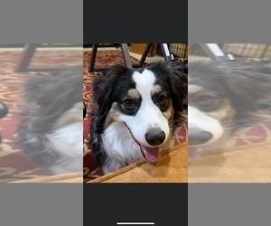 Miniature Australian Shepherd Dog Breeder in BELLVIEW,  USA
