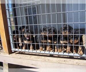 Main photo of Rottweiler Dog Breeder near DAYTON, VA, USA