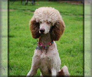 Saint Berdoodle Dog Breeder in BREMEN,  USA