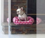 French Bulldog Breeder in Kansas City , KS