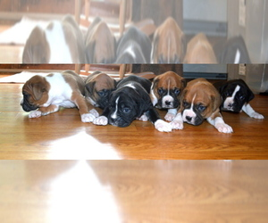Boxer Breeder in LANCASTER, MA, USA