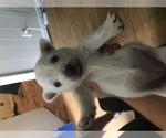 West Highland White Terrier Breeder in MOUNT MORRIS, MI, USA