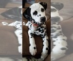 Dalmatian Breeder in AARONSBURG, PA, USA