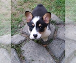 Pembroke Welsh Corgi Breeder in HUNTSVILLE, TX