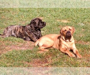 Cane Corso-Mastiff Breeder in HOUSTON, TX, USA