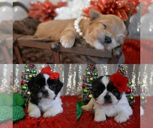 Main photo of Morkie Dog Breeder near DOWNING, MO, USA