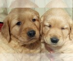 Golden Retriever Breeder in HARLAN, IA, USA