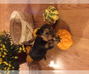 Yorkshire Terrier Breeder in HARVIELL, MO, USA