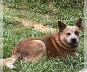 Australian Cattle Dog Dog Breeder near DOVER, OR, USA