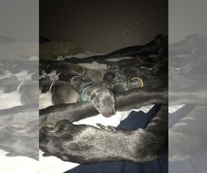 Main photo of Great Dane Dog Breeder near LODI, CA, USA