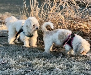 Coton de Tulear Dog Breeder near LISLE, IL, USA