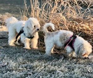 Main photo of Coton de Tulear Dog Breeder near LISLE, IL, USA