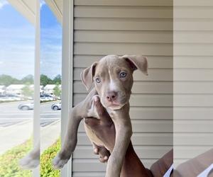 Main photo of American Bully Dog Breeder near RALEIGH, NC, USA
