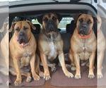 Boerboel Breeder in FORT WAYNE, IN, USA