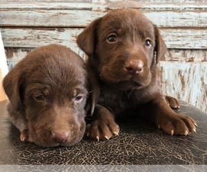 Labrador Retriever Breeder in BOWIE, TX, USA