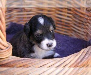 Main photo of Border Collie-Golden Retriever Mix Dog Breeder near LACEY, WA, USA