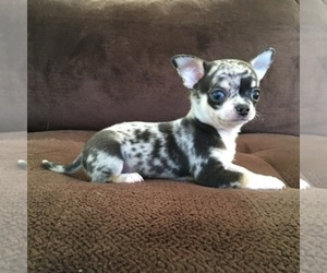 Chihuahua Breeder in SOUTH BURLINGTON, VT