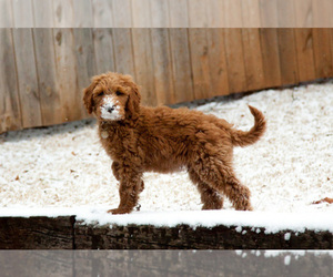 Goldendoodle Dog Breeder in FALKVILLE,  USA