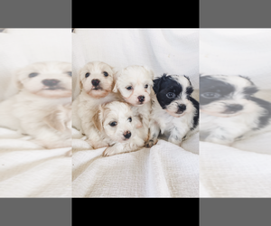 Coton de Tulear Dog Breeder near BROGUEVILLE, PA, USA