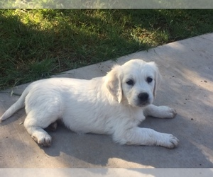 Golden Retriever Dog Breeder in GILBERT,  USA