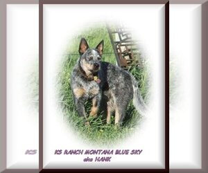 Australian Cattle Dog Dog Breeder near HELENA, MT, USA