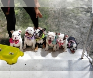 Bulldog Dog Breeder in HOLLYWOOD,  USA