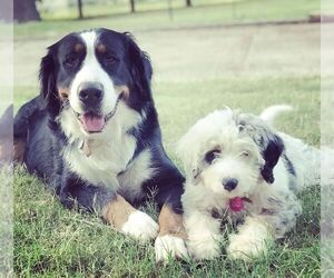 Bernedoodle Dog Breeder in EDMOND,  USA