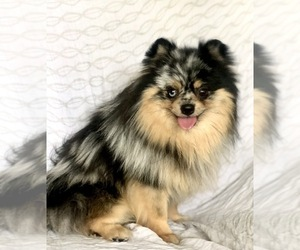 Main photo of Pomeranian Dog Breeder near W JORDAN, UT, USA