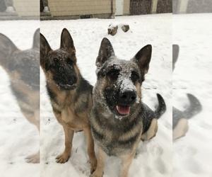 German Shepherd Dog Breeder in BOSTON, MA, USA