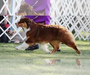Main photo of Australian Shepherd Dog Breeder near , , USA