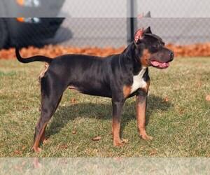 American Pit Bull Terrier Dog Breeder near DETROIT, MI, USA