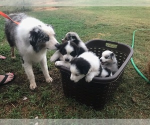 Main photo of Australian Shepherd Dog Breeder near MACDONA, TX, USA