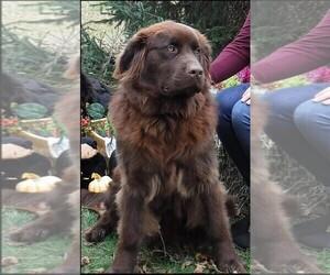 Bernefie (pronounced burn-ah-fee) Dog Breeder near WAYLAND, MI, USA