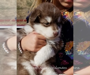 Alaskan Malamute Dog Breeder near CLARK, WY, USA