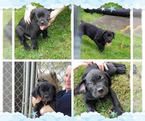 Main photo of Cane Corso Dog Breeder near NEW CASTLE, PA, USA