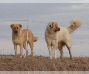 Anatolian Shepherd Dog Breeder near BLOOMINGDALE, NY, USA