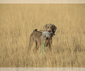 Main photo of Weimaraner Dog Breeder near REXBURG, ID, USA