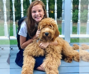 Goldendoodle Dog Breeder in HUDSON,  USA
