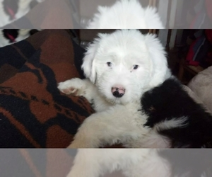 Old English Sheepdog Dog Breeder near roaring spring, PA, USA