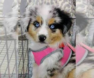 Main photo of Miniature Australian Shepherd Dog Breeder near LAWRENCE, KS, USA