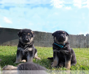 German Shepherd Dog Dog Breeder in RIDGEFIELD,  USA
