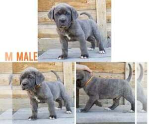 Main photo of Cane Corso Dog Breeder near OLNEY SPRINGS, CO, USA