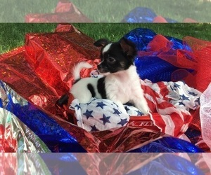 French Bullhuahua Dog Breeder near RAWSONVILLE, MI, USA