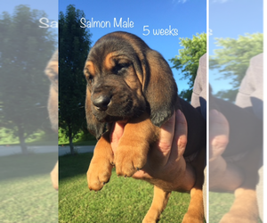 Bloodhound Breeder in ENGLISH, IN, USA