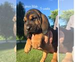 Bloodhound Breeder in ENGLISH, IN, USA