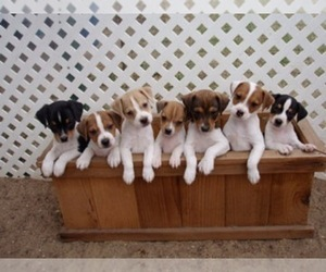 Jack Russell Terrier Breeder in WAXAHACHIE, TX
