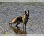 German Shepherd Dog Breeder in KENNEBUNK, ME, USA