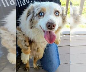 Main photo of Miniature Australian Shepherd Dog Breeder near LUFKIN, TX, USA